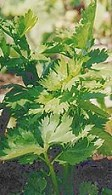 Celery leaves