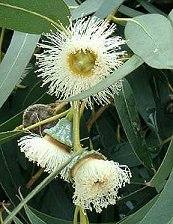 Eucalyptus Globulus
