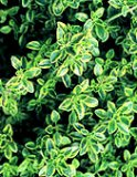 Common Thyme