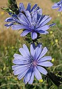 Chicory Benefits